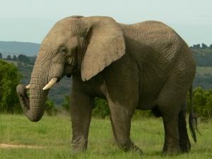 An Elephant bull on game drive.