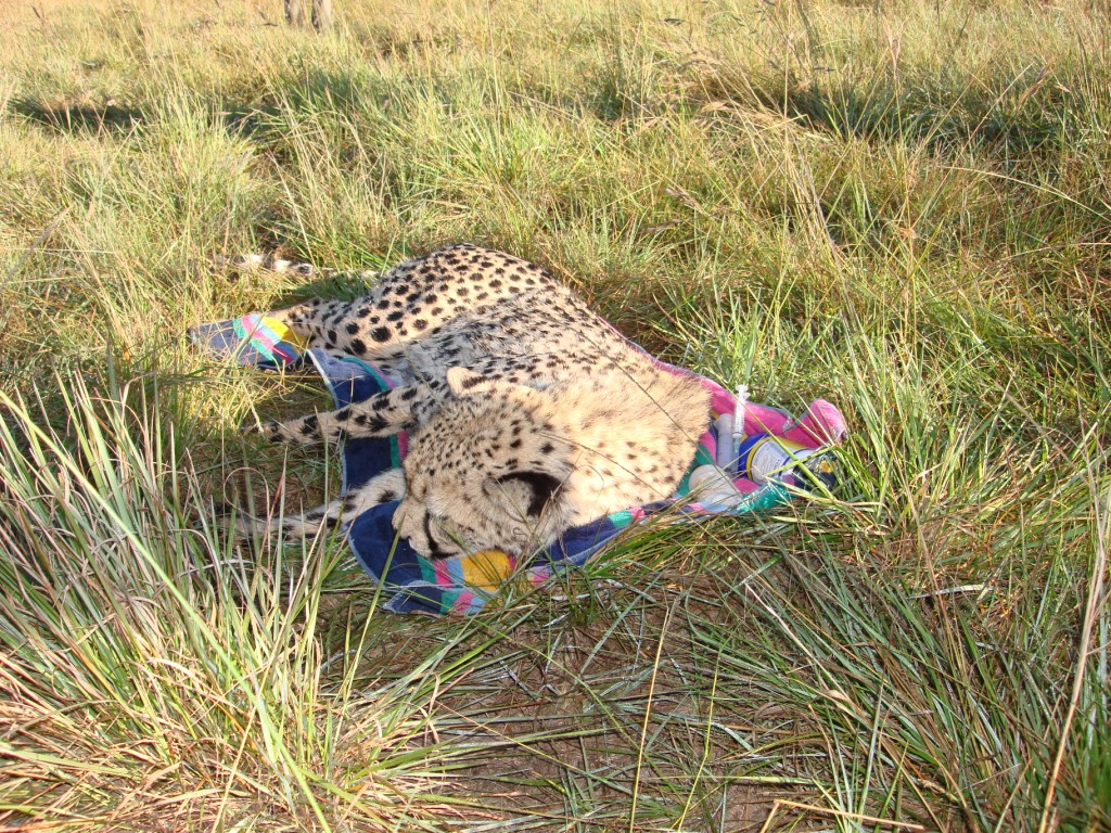 One of the Cheetah being prepaired for the journey north.