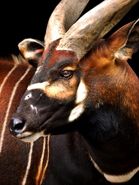 And of course, the Bongo in the forests of Cameroon with The Pygmies.
