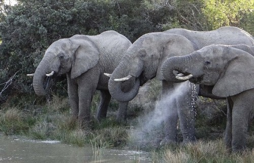 One of Wilson's Big 5 game drive highlights … Elephants at a watering hole at sundown.