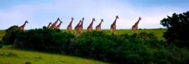 Eleven Giraffes
