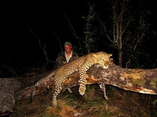 "To say that it was a relief would have been an understatement! Forget the success rate ratios - As described to me by a friend of mine, the famous Zimbabwean Leopard hunter, Lou Halimore, "" It's a 50/50 - Either get one or you don't!"" We had ours! And at that a beauty!"