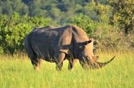 W Rhino (LGR) (600)