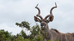 Kudu Web